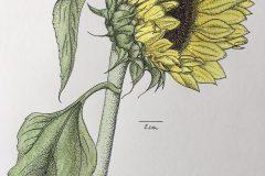 botanische Zeichnung - Sonnenblume