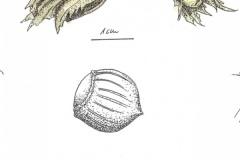 botanische Zeichnung - Hasel
